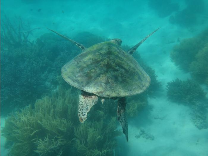 ミコマスケイのウミガメ