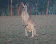 kangaru-