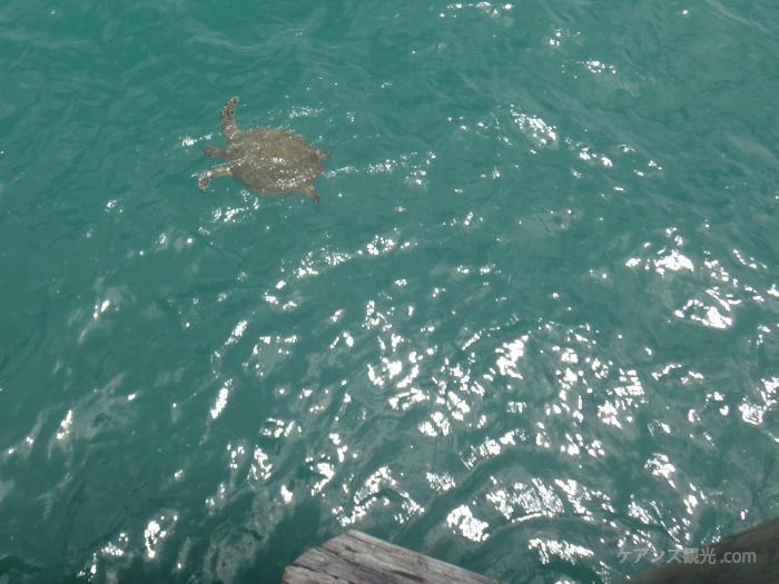 パームコーブの桟橋からウミガメ